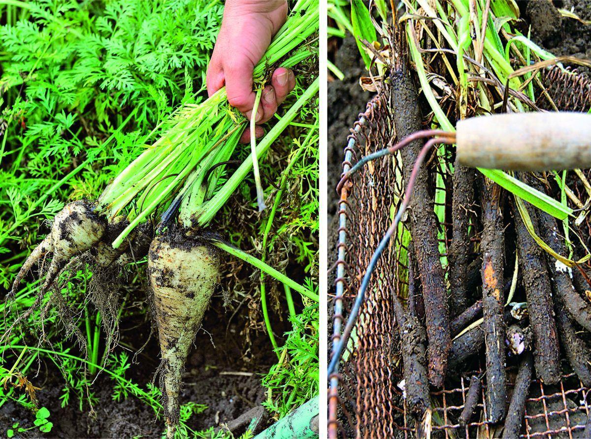 Как правильно сажать корневую петрушку 22