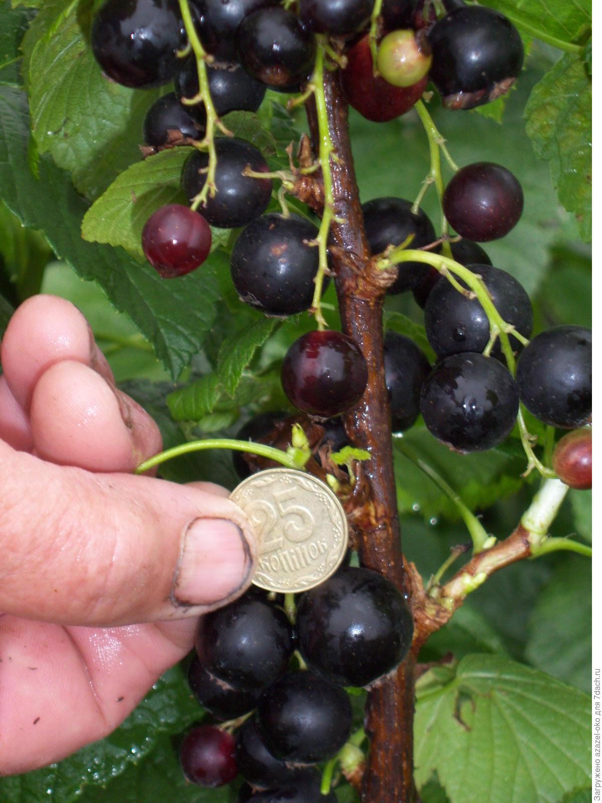 Выращивание смородины из ягоды 63