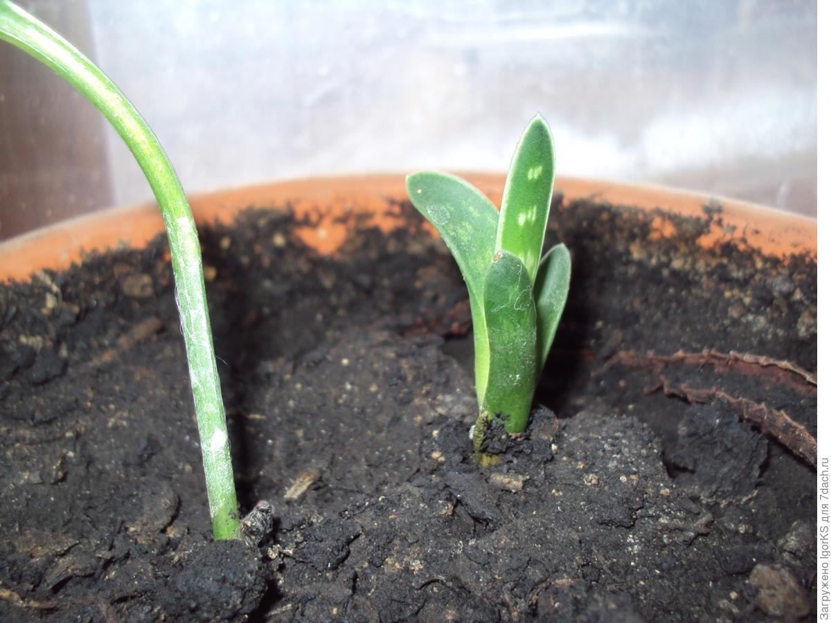 Когда сажать семена суккулентов 580