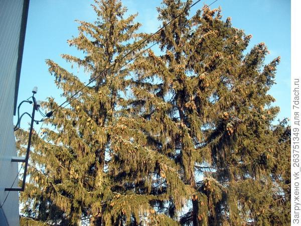 Примета сажать елку возле дома 901
