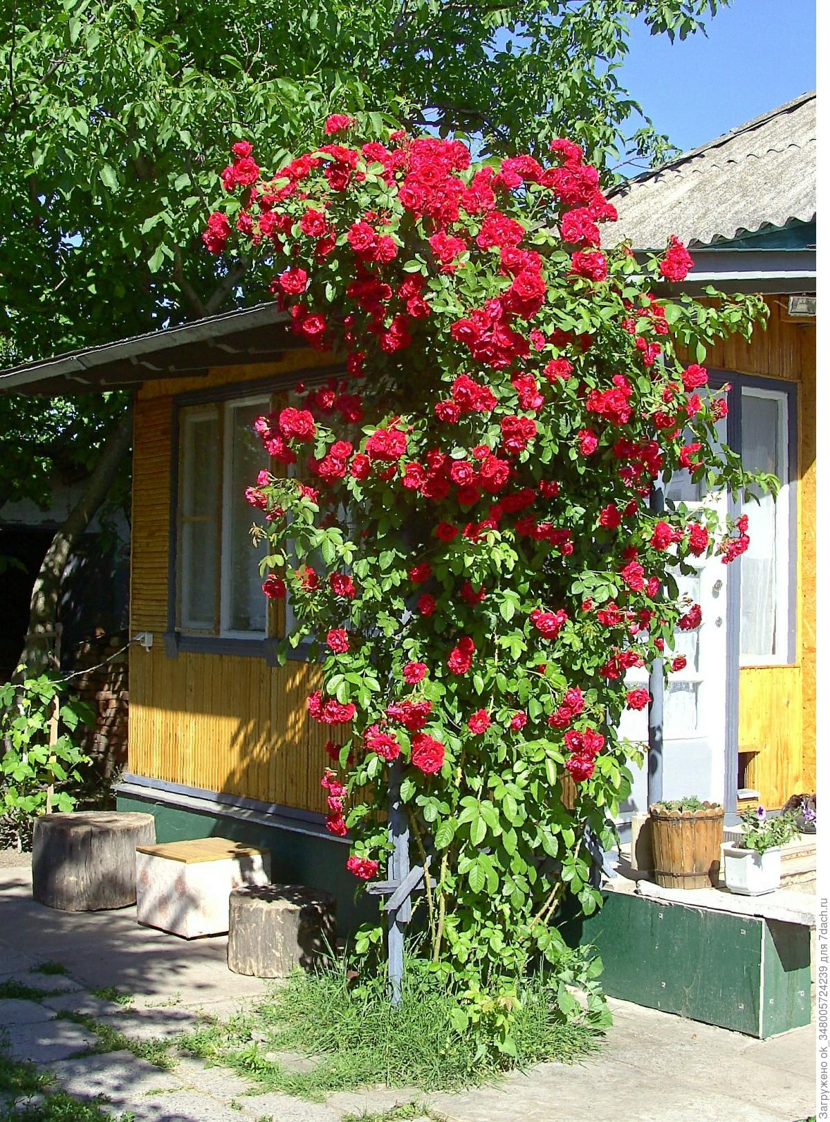 Как посадить плетистую розу летом: видео инструкция 59