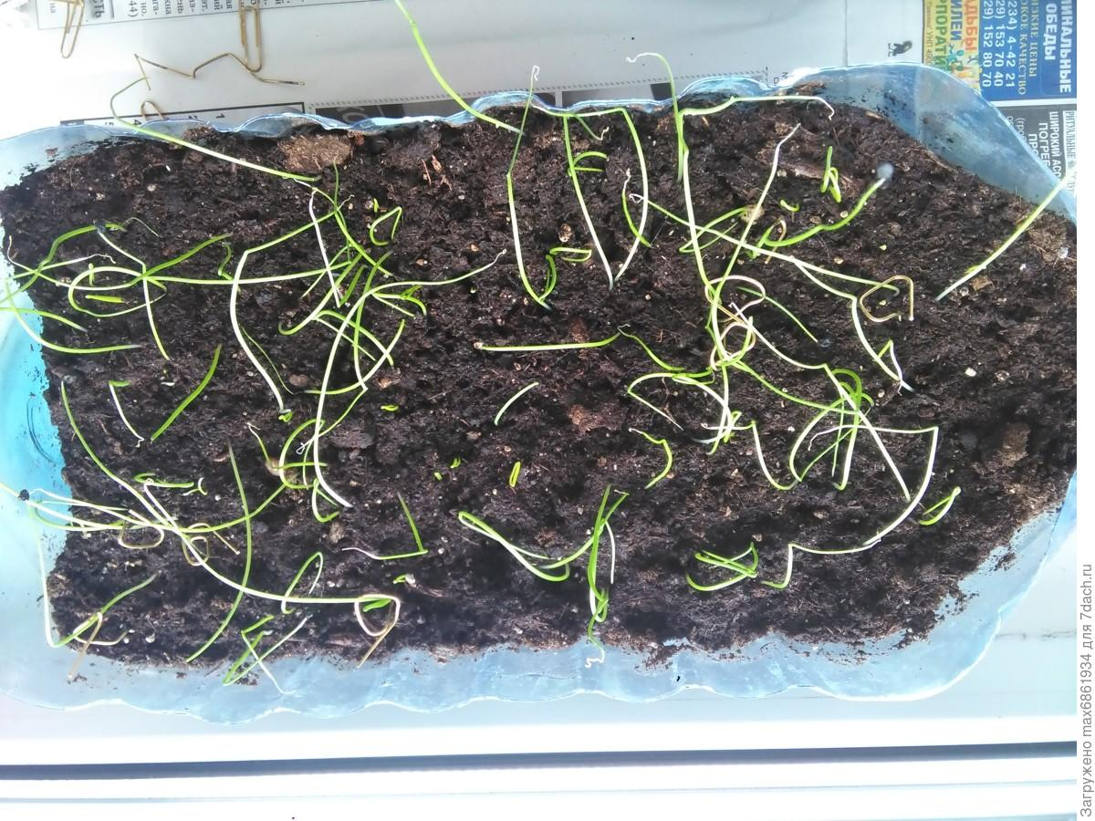 Лук-порей: выращивание от посева до уборки 24