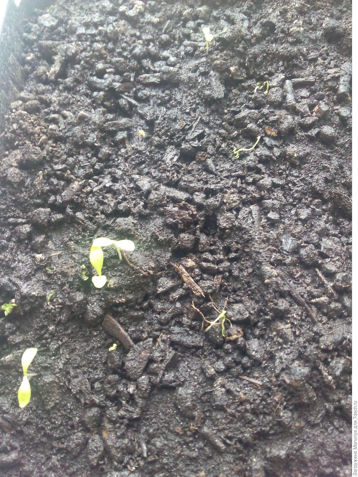 Сажать гвоздику семенами осенью 22