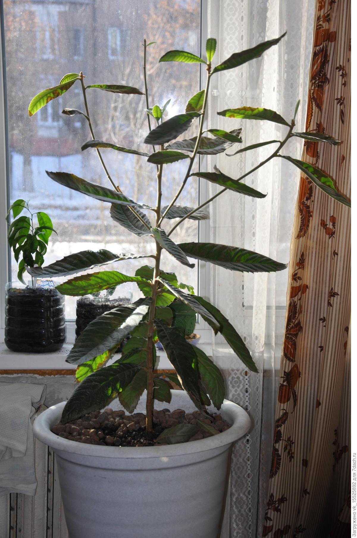 Как посадить косточку манго в домашних условиях фото
