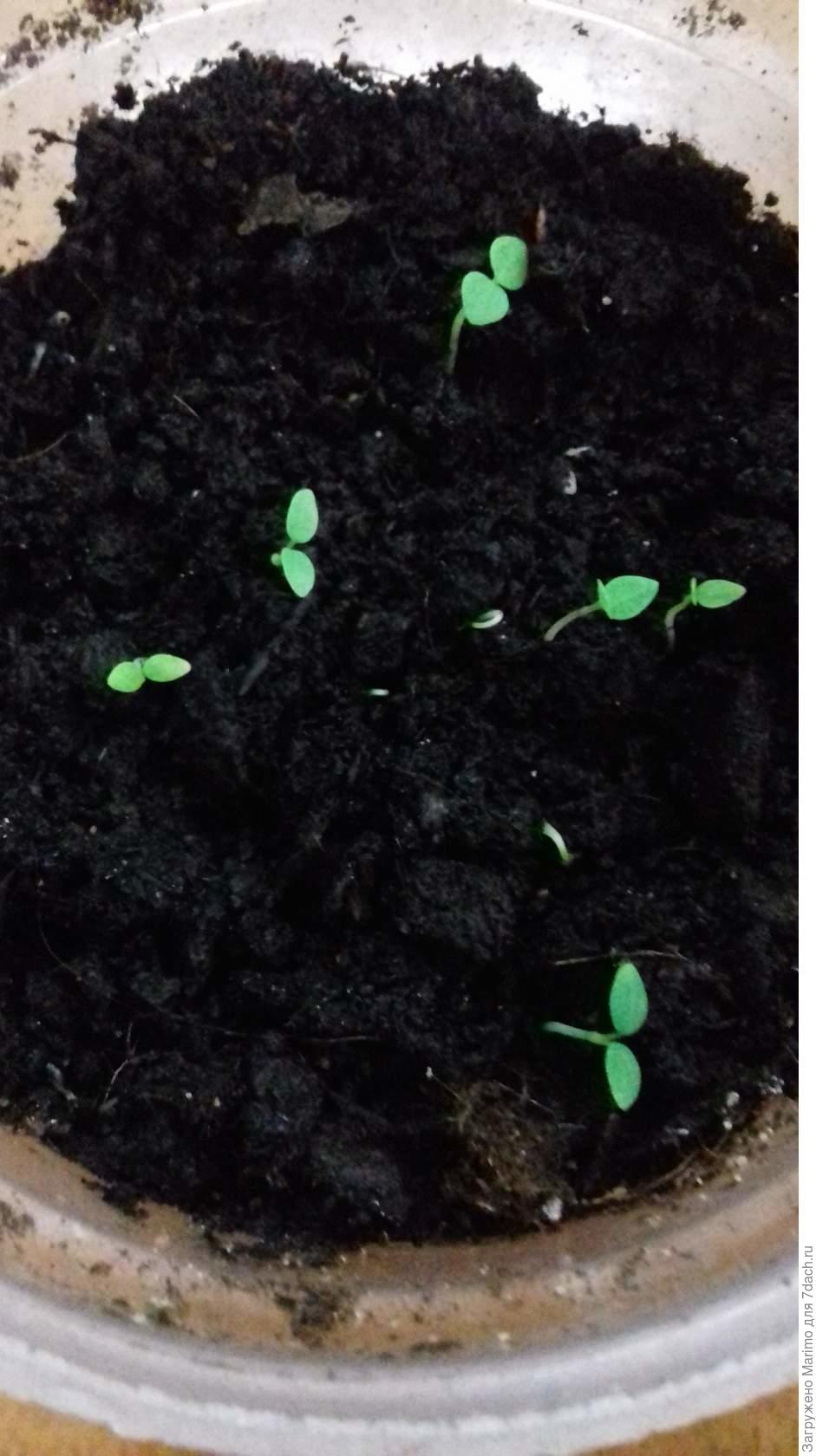 Ранункулюс: посадка и уход в открытом грунте, выращивание
