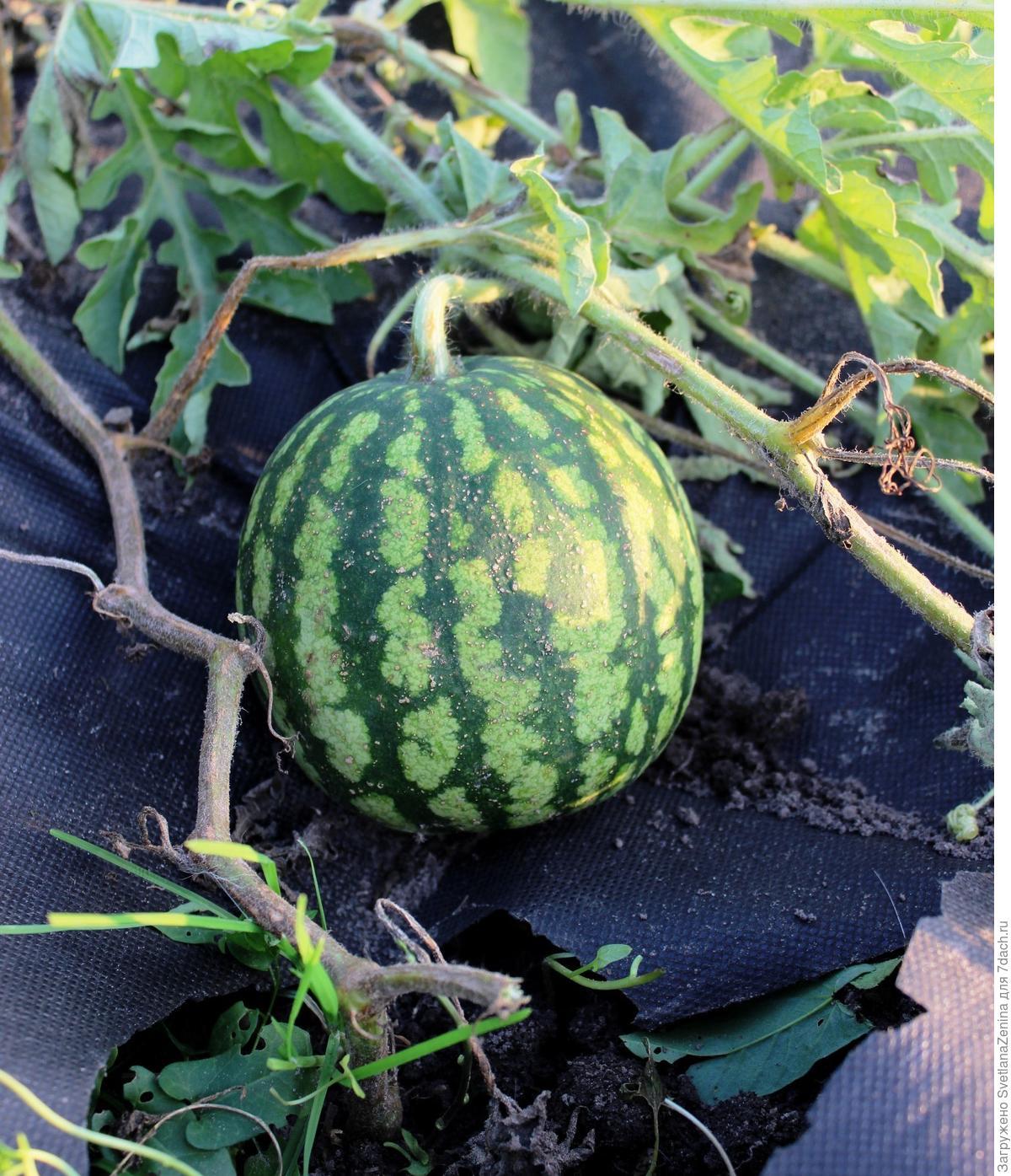 Выращивание арбуз и дыни 78