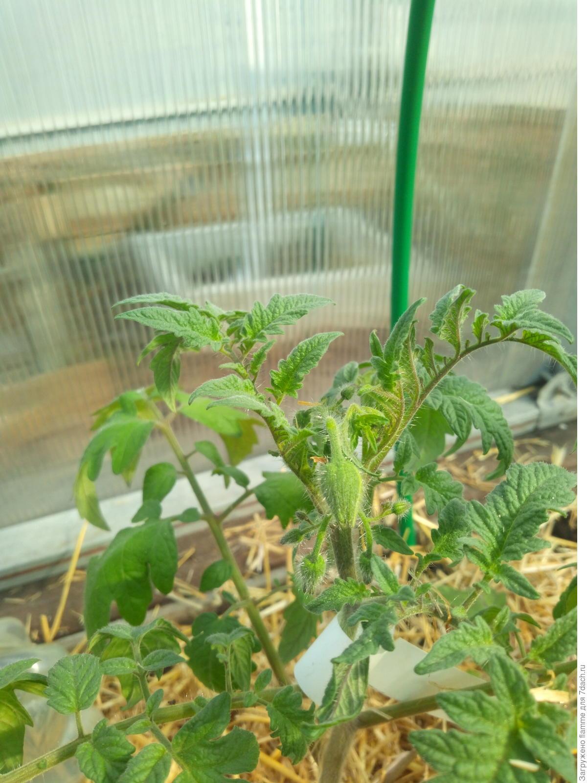 Махровые цветы у томатов фото
