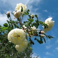 Как вырастить розы в своем саду
