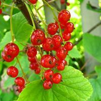Смородина красная и белая: особенности выращивания и ухода, сорта