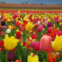 Тюльпаны: посадка и выращивание в саду, сорта, борьба с вредителями и болезнями