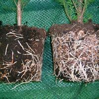 Корневин - мощный биостимулятор растений
