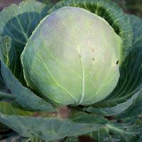 Как сохранить капусту до весны