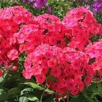 Флоксы – желанные гости для любого цветника!