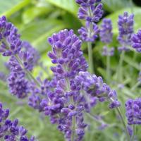 Лаванда - секреты выращивания