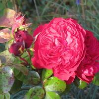 Розы осенью: уход и подготовка к зимнему укрытию