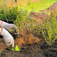8 правил закладки живой изгороди