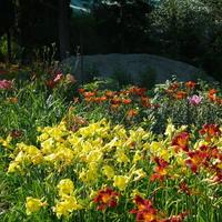 Многоликие лилейники: выбор, особенности выращивания, размещение на даче