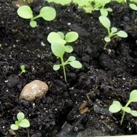 4 шага к хорошей рассаде петуний