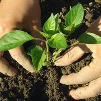 Когда высаживать овощную рассаду в грунт и в теплицы