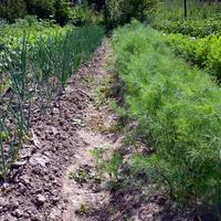 Секреты лукового урожая