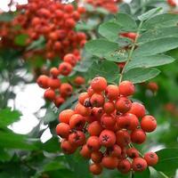 Рябина обыкновенная: выращивание и уход