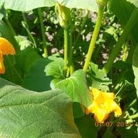 Выращиваем кабачок - ценнейший диетический продукт!