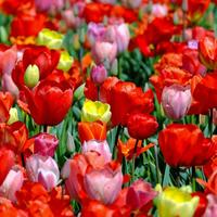 Секретная технология выращивания тюльпанов
