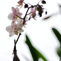 Орхидеи. Растения из дальних стран на наших окнах.