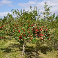 Проявится ли сортность яблони, если выращенный из семян саженец 5 лет подряд пересаживать?