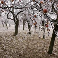 Осенний уход за яблоней