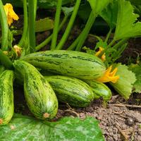 Секреты хорошего урожая кабачков