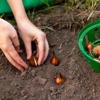 Дизайнерские способы осенней посадки луковичных