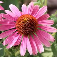Эхинацея — многоликая красавица