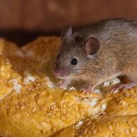 Самые гуманные способы избавления от мышей и крыс