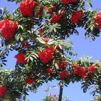Рябина красная в моем саду растет без горечи