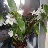 Помогите разобраться с орхидеей