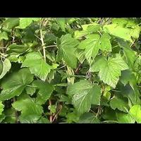 Смородина: видео о летней обрезке