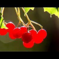 Осенние ягоды: рябина, калина, шиповник (видео)
