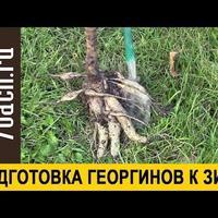 Подготовка георгинов к зиме (видео)