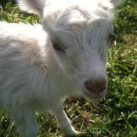 Вокруг Санты и Заразные болезни коз