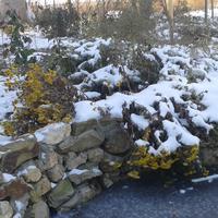 Выпал снег. Куда сажать тюльпаны
