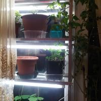 Если много рассады, а места на окнах мало, что делать?