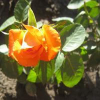 Моя любимая роза Серенада
