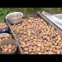 Как выбрать семенной картофель