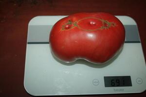 100 000 рублей за самый большой помидор