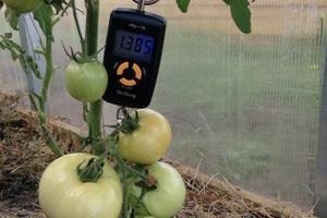 Конкурс 100 000 рублей за самый большой помидор