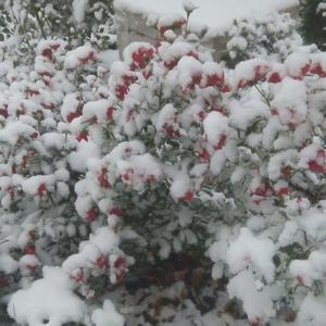 Розы и первый снег