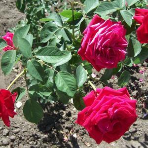 Крупные розы
