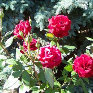 Роза на фоне хвои - это классно