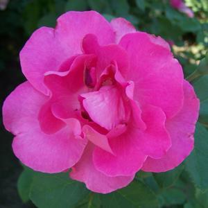 Роза в анфас)